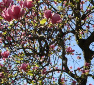 magnolie-1